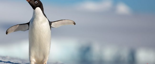 "Disneynature's all-new feature film ""Penguins"" is a coming-of-age story about an Adélie penguin named Steve who joins millions of fellow males in the icy Antarctic spring on a quest to build a suitable nest, find a life partner and start a family. None of it comes easily for him, especially considering he's targeted by everything from killer whales to leopard seals, who unapologetically threaten his happily ever after. From the filmmaking team behind ""Bears"" and ""Chimpanzee,"" Disneynature's ""Penguins"" opens in theaters nationwide in time for Earth Day 2019. Photo © 2018 Disney."